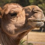 Camel Sounds – Grunting
