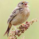 Natural Bird Sounds – chirruping , singing